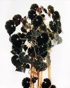 Begonia mazae nigricans – scissors glue paper – DIY, Upcycling, Deco, Home & Garden … - All For Herbs And Plants Begonia, Plante Carnivore, Weird Plants, Rare Plants, Decoration Plante, Black Garden, Carnivorous Plants, Foliage Plants, Plant Decor