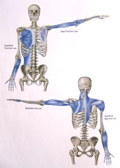 The Arm Lines run from the axial skeleton to the four quadrants of the arm and four 'sides' of the hand, namely the thumb, little finger, palm, and back of the hand. Because human shoulders and arms are specialized for mobility, these multiple degrees of freedom require more variable lines of control and stabilization and thus more inter-line links. Nevertheless, the arms are logically arranged with a deep and superficial line along the back of the arm.