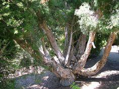 Longs Cheveux au Naturel: Les miracles de l'huile essentielle de tea tree !