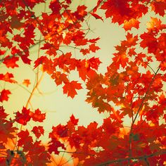 Red fall decor autumn colors olive green autumn maple by bomobob Maple Leaf Tree, Tree Photography, Best Seasons, To Infinity And Beyond, Fall Photos, Autumn Inspiration, Color Inspiration, Belle Photo, Pretty Pictures