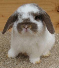 Mini Lop Bunnies, Cute Baby Bunnies, Cute Babies, Bunny Bunny, Mini Lop Rabbit, Dwarf Rabbit, Bunny Rabbits, Cute Little Animals, Cute Funny Animals