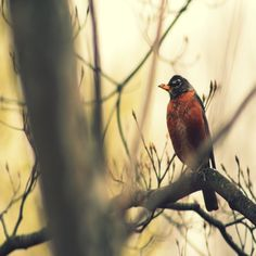 8x10 inches photo-- Robin. Robins, Red Robins, Wildlife Photography, Home Decor, Bird, Birds, Tree, Trees, Fall, Autumn, Bird Robin, Red Tree Branch
