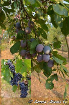 Favoriete wijn zelf maken met en rijke #Italiaanse druiven.