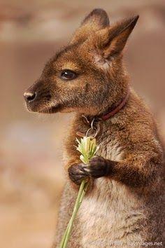 Baby Kangaroo ~ She loves me, she loves me not...