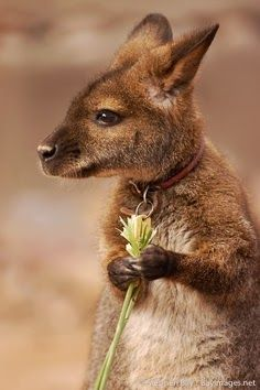Baby kangaroo   ...........click here to find out more     http://googydog.com