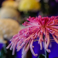 Instagram media by ryosuke8889 - #Kiku #菊 #sankeiengarden #三渓園 #横浜 #team_jp_ #team_jp_flower #team_jp_東 #flowerstagram #flowerphotography #flowergirl #flowerslovers #flowermagic #flowerart #flowers #ig_japan #igersjp #ig_daily #ig_nature #はなまっぷ #honmoku #本牧 #bns_flower #bns_nature ※ ※ ※ 横浜 三渓園の菊の花展示会 ※ ※ ※