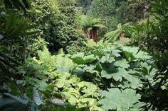 Tropical splendour at The Lost Gardens of Heligan - Trachycarpus fortunei, Gunnera mannicata, Dicksonia Antarctica...