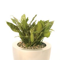 """Aglaonema """"Maria"""" is a low growing foliage plant with elongated dark green leaves and attractive markings, suitable for low, medium and high light conditions:"""