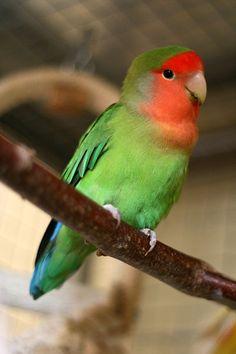 File:Agapornis roseicollis -Peach-faced Lovebird pet on perch.jpg