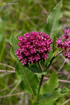 The Buckeye Botanist: A Guide to the Milkweeds of Ohio
