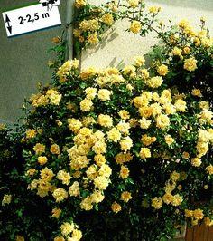 PNOUCÍ RŮŽE | CASINO růže popínavá - sazenice | Stromky-ruze.cz | Ovocné stromky a růže
