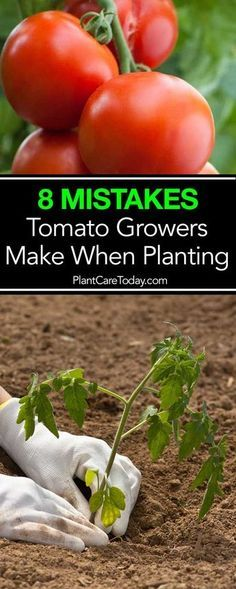 Problems In Growing Tomatoes Tomato plant problems, In this article we'll look at some of the mistakes to avoid when planting tomatoes, increase size, flavor, and overall plant output. Tips For Growing Tomatoes, Growing Tomato Plants, Tomato Seedlings, Growing Tomatoes In Containers, Growing Vegetables, How To Grow Tomatoes, Tomato Pruning, Organic Gardening, Gardening Tips