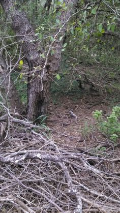 South Texas  brushland. Can you spot the paraque?