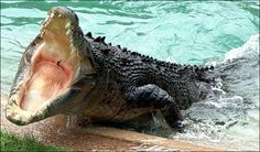 The Kimberley Australia, salt water crocodile Discovery Animal, Scary Animals, Wild Animals, Saltwater Crocodile, Komodo Dragon, Safari, Types Of Animals, Great White Shark, Mundo Animal
