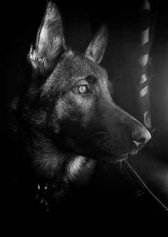 German Shepherd Head Shot