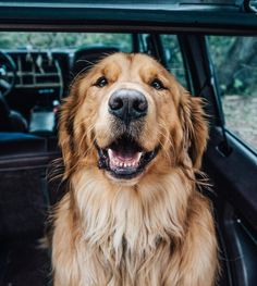 Golden retriever! <3 I would get one female, name her Dottie, go for runs with her, hikes, etc. it would be awesome <3 #goldenretriever