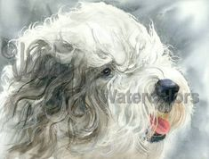Sheepish Grin is an Open Edition Giclee Art Print from a watercolor featuring an Old English Sheepdog. The Old English Sheepdog comes from England, but