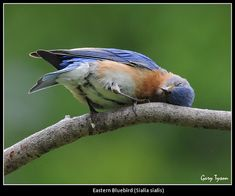 Bluebird Nap Time (okay, he's scratching his head, but it is cute either way!) Photo by Gary Tyson, Flickr