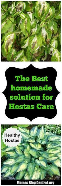 The Best Homemade Solution for Hosta Care - 1 cup each Listerene (original) mouthwash, Epsom salts, ammonia, Ajax dishwashing liquid (lemon). Mix and spray