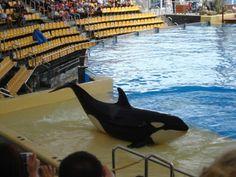 Ein Besuch im Loro Park auf Teneriffa. Ich habe schon viel erlebt aber das war einfach atmenberaubend -die Orcas so nah zu erleben.
