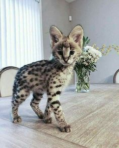Funny Animal Of The Day - Cats so cute Gatos Serval, Serval Cats, Pretty Cats, Beautiful Cats, Animals Beautiful, Cute Kittens, Funny Kitties, Cute Little Animals, Cute Funny Animals