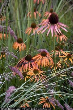 Echinacea perfect for a seaside meadow, attracts butterflies with the flowers and birds with the seed laden cones, deadhead for longer bloom time- great cut flower! Many, many new varieties to try......