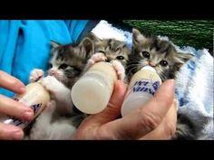 Three Kittens Sip Their Bottles (VIDEO)