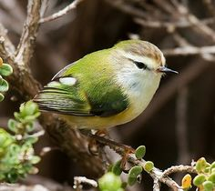 The Rifleman (Acanthisitta chloris) (Māori: Tītipounamu) is a small insectivorous passerine bird that is endemic to New Zealand. Birds In The Sky, Small Birds, Little Birds, Colorful Birds, Pretty Birds, Love Birds, Beautiful Birds, Animals Beautiful, Cute Animals