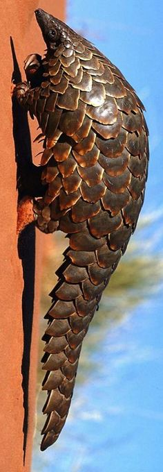 Giant Pangolin (Manis gigantea) -- I at first thought this was a doorknocker!  b/c the color and orientation -- like it is walking up a wall