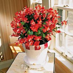 La Schlumbergera es un cactus muy particular, conocida coloquialmente como cactus de Navidad por su hermosa floración en llamativas flores rojas, es en realidad un género de cactus compuesto por se…