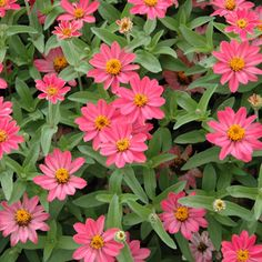 Profusion Coral Pink Zinnia