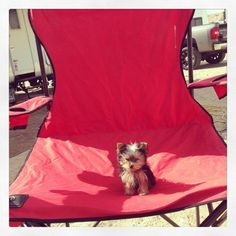 Zoey is a Yorkie puppy and aklsjhtrfdfkrjlgralkj. Yorkie Puppy For Sale, Puppies For Sale, Yorkie Puppies, Super Cute Puppies, Cute Dogs, Adorable Puppies, Dog Love, Puppy Love, Best Friend Love