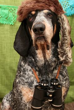 Bluetick Coonhound #Dogs #Puppy
