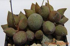 Adromiscus marianiae tanqua Cactus gallery