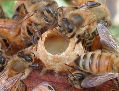 Worker bees caring for a queen larva in its cell