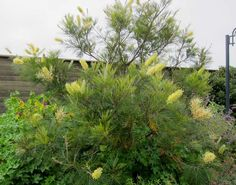 Grevillia Moonlight as a screening hedge for the new back garden.