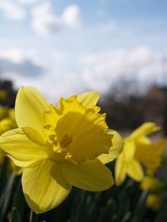Spring daffodills in Rochester by Simon Bolton UK, via Flickr