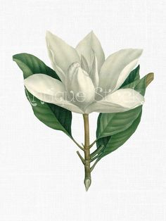 Flower Clip Art - Southern Magnolia Vintage Art Download for Collages, Scrapbooking, Transfers, Thank You Notes, Gift Tags, Home Decor...