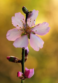 Almond Flower by  almalki abdullrahman on 500px.com (Original Size - Height: 725px - Width: 509px)