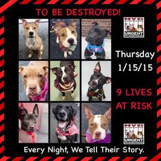 TO BE DESTROYED: 9 beautiful dogs to be euthanized by NYC ACC- THURS. 01/15/15. This is a VERY HIGH KILL shelter group. YOU may be the only hope for these pups! ****PLEASE SHARE EVERYWHERE!!To rescue a Death Row Dog, Please read this: https://www.facebook.com/Urgentdeathrowdogs/app_137541772984354 To view the full album, please click here: https://www.facebook.com/media/set/?set=a.275017085844511.78596.152876678058553&type=1