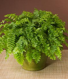 Boston Fern discovered by NASA (National Aeronautics and Space Administration) to be good for cleansing the air. Boston Ferns thrive in an area where there is less light.