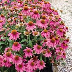 Echinacea 'Kim's Knee High' is a darling little coneflower that we tuck inot small spaces through out our perennial gardens. Kim's Knee High was the first dwarf variety ever developed and is in our opinion still one of the very best. Plants are very free flowering providing tons of  3 1/2 inch rose-pink blooms on top of very compact 18 - 24 inch plants.