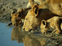 Donate - Big Cats for new BCI website - National Geographic Society