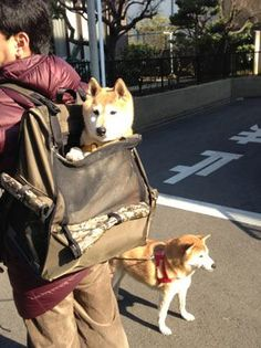 shiba inu in bag