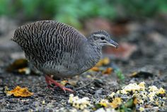 Pale-browed Tinamou