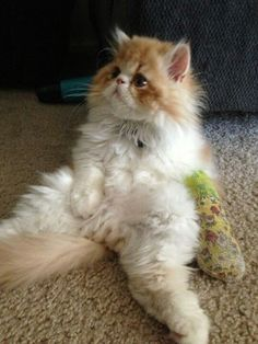 orange & white persian kitten .