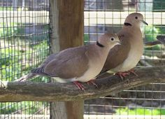 pictures of ring neck doves | Ringnecked Doves | at Rolling Ridge Ranch Animal Park