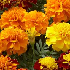 Marigold Patula Mix Flower Seeds (Tagetes Patula) 50+Seeds