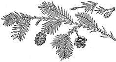 Redwood Frond