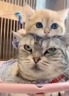 Cute Cats And Dogs, Cool Pets, I Love Cats, Crazy Cats, Cats And Kittens, Cute Funny Animals, Cute Baby Animals, Funny Cats, Cat 2